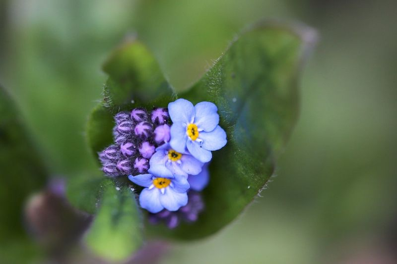 Myosotis Myosotis Eyemphotography Beauty In Nature Flowering Plant Flower Plant Freshness Beauty In Nature Fragility Vulnerability  Close-up Purple Flower Head Nature Inflorescence Botany Springtime Plant Part