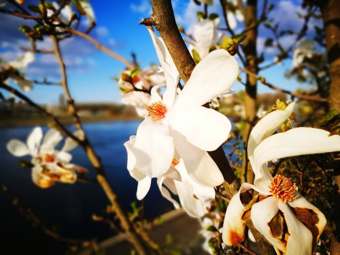 EyeEm Selects Flower Tree Blossom Branch Fragility Nature Springtime No People Growth Flower Head Close-up Beauty In Nature Outdoors Day Sky Orchid Freshness Osijek, Croatia Croatia🇵🇾 Croatiafulloflife Croatiafullofnature Slavonija Visitslavonija Visitcroatia