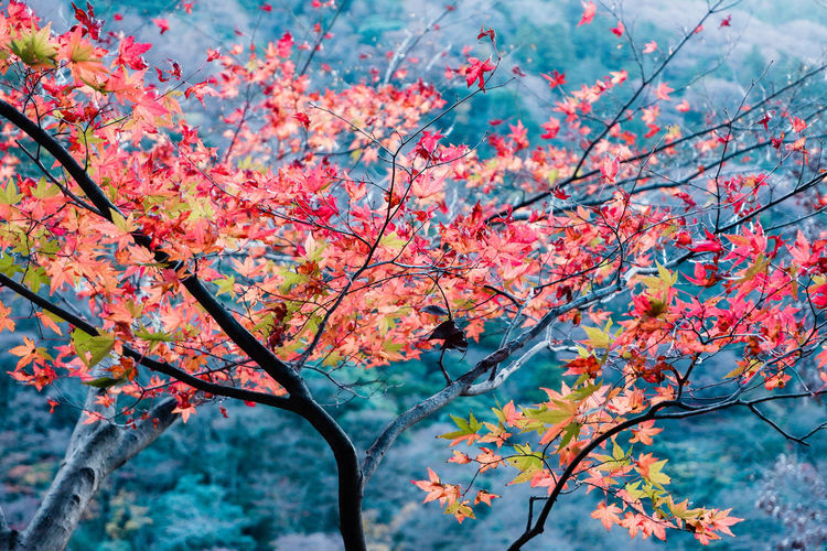 Low angle view of cherry blossom tree during autumn