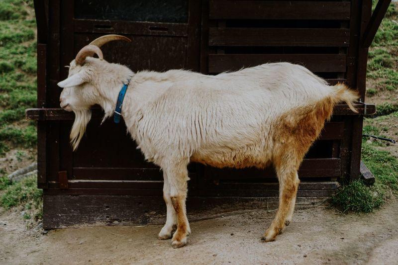 Goat Domestic Animals One Animal Full Length Animal Themes Mammal No People Livestock Pets Dog Outdoors Day Goat Goats Mountaingoat Zoo Goatinzoo EyeEm Best Edits EyeEmBestPics Eyeemmarket