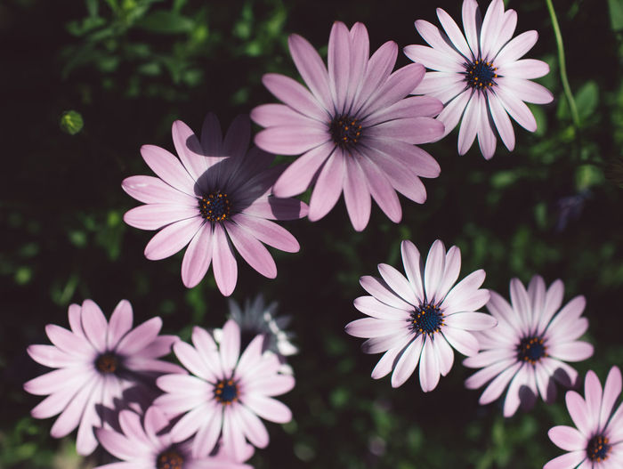 Springtime Decadence Flowering Plant Flower Fragility Plant Freshness Vulnerability  Petal Growth Beauty In Nature Flower Head Inflorescence Close-up Osteospermum Focus On Foreground No People Nature Day Pollen Outdoors Selective Focus Purple