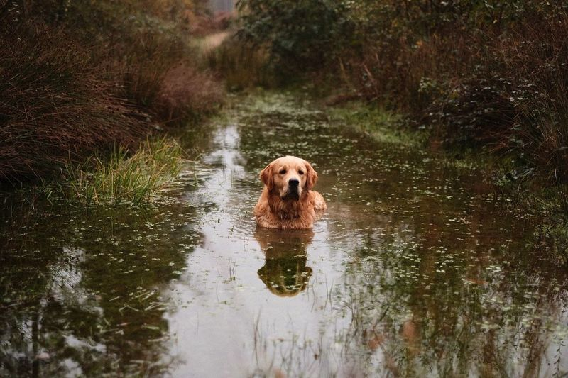 Dog Pets One Animal Golden Retriever Domestic Animals Water Animal Themes River Friendship Outdoors No People Portrait Animal Swimming Nature Mammal Wet Retriever Day