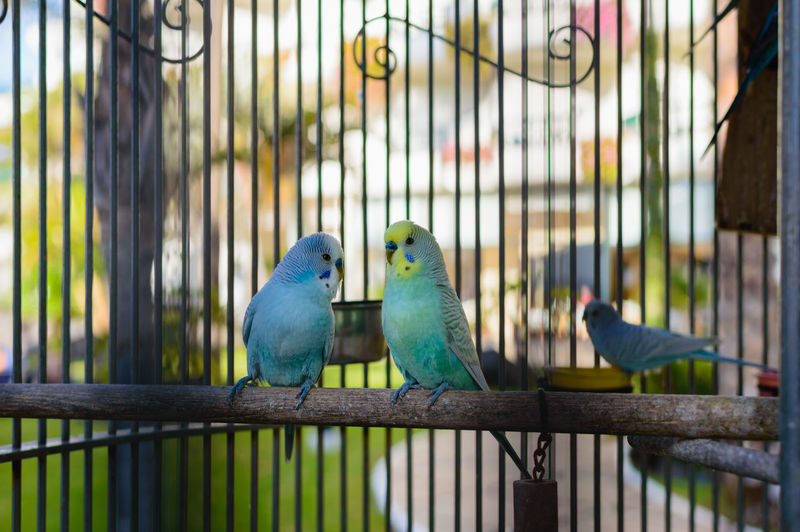 Animal Animal Themes Animal Wildlife Animals In Captivity Bird Birdcage Budgerigar Cage Caged Close-up First Eyeem Photo Group Of Animals Parakeet Parrot Perching Trapped Two Animals Vertebrate