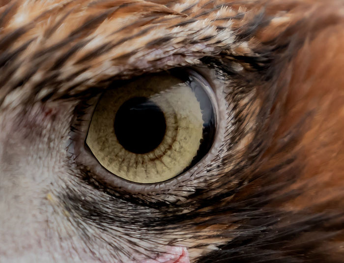 Fine Feather Eagle Eye Feathers Seeing the Sights Vissionare Wedgetailedeagle Animal Animal Body Part Animal Eye Animal Head  Animal Themes Animal Wildlife Close-up Detail Domestic Domestic Animals Extreme Close-up Eye Eyeball Eyesight Full Frame Hair Hunting Eyes Iris - Eye Looking Mammal No People One Animal Peering Pets Sensory Perception Vertebrate Vission
