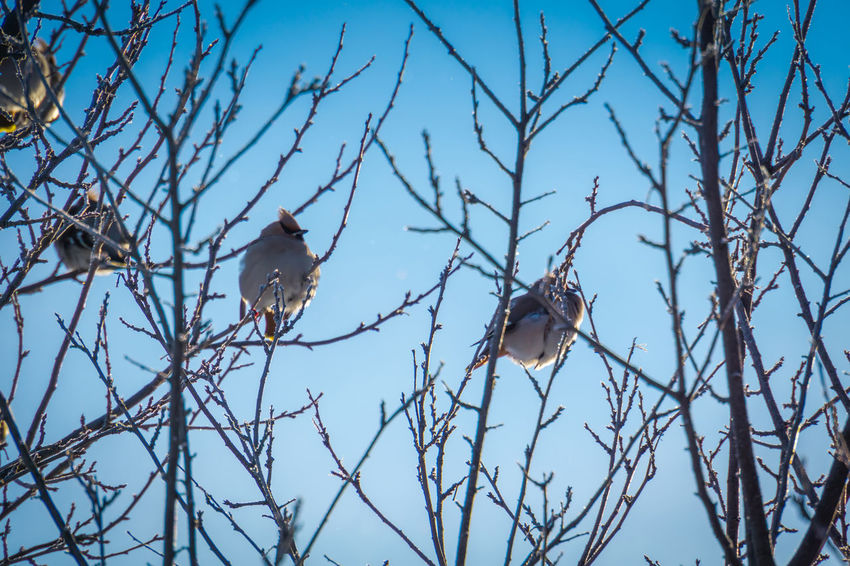 Wintertime Animal Animal Themes Animal Wildlife Animals In The Wild Bare Tree Bird Blue Branch Day Group Of Animals Low Angle View Nature No People Outdoors Perching Plant Sky Tree Two Animals Vertebrate Waxwing Waxwings