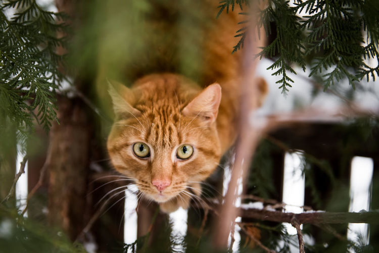 Ginger cat i bush, looking to camera. Big Eyes Cute Cat Ginger Cat Winter Animal Themes Domestic Animals Domestic Cat Ginger Cat Looking At Camera Mammal Nature No People One Animal Pets Portrait Portrait Of Cat Tree