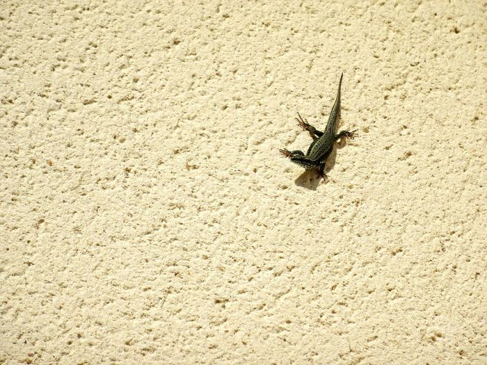 One spelled here commun lizard with claws on wall - edited colors improved One Lizard Fauna Lizard On Wall Sunbathing Full Lenght With Claws Claws Crepy Wall