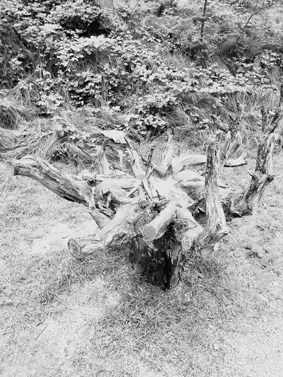 Wood Roots