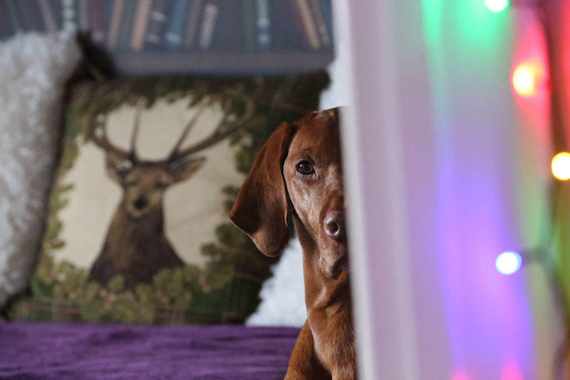 "I'm watching you... Harvey might have heard me say ""walkies!"" :D Animal Head  Animal Themes Christmas Lights Close-up Cushion Day Dog Domestic Animals Doorframe Mammal No People One Animal Outdoors Peekaboo Pets Vizsla"