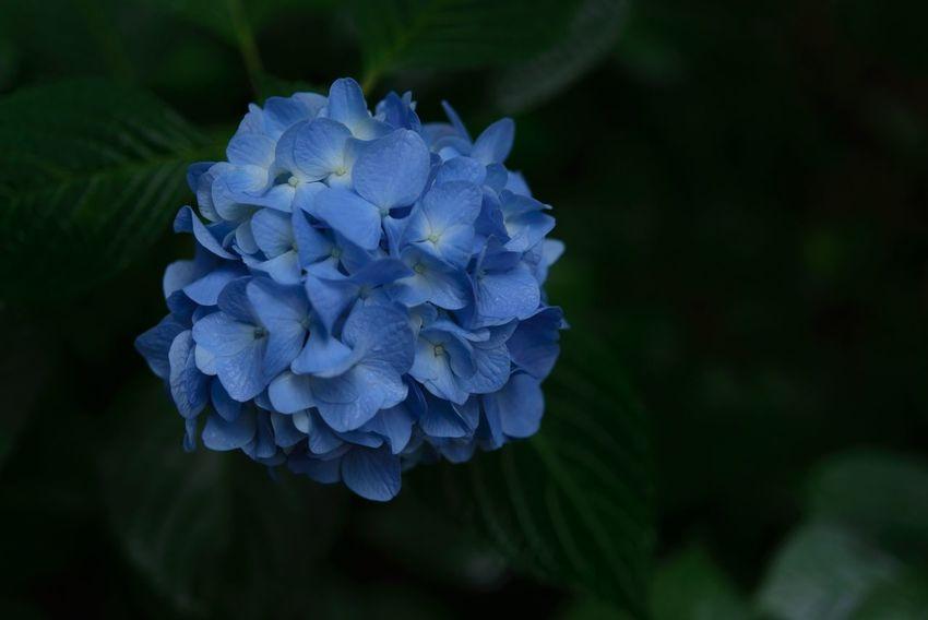 Blue gathering EyeEm Nature Lover Getting Inspired TheMinimals (less Edit Juxt Photography) EyeEm Flower Flower Collection Nikkor60mm EyeEm Best Shots - Macro / Up Close Streamzoofamily
