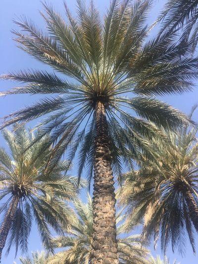 Oman Plant Palm