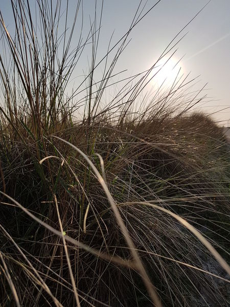 By Day Close Up Dune Grass Grass Halms Blurred Blurred Photos. Evening Sunlight Mood Picture