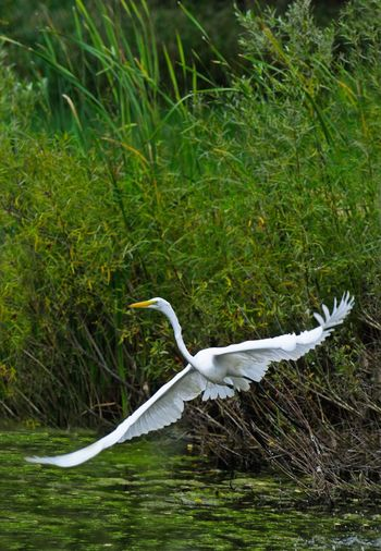 Animal Themes Animal Wildlife Animals In The Wild Bird Day Egret In Lake Egret_in_flight Flying Full Length Grass Great Egret Nature No People One Animal Outdoors Spread Wings