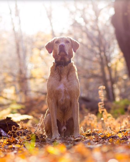 The glory of light! Dog Autumn Pets Domestic Animals Outdoors Sunlight Forest Nature Labrador Fox Red Lab