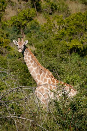 Giraffe Animal Themes Animal Wildlife Animals In The Wild Day Mammal Nature No People Outdoors