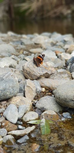 Butterfly - Insect River Water Insect Rock - Object Animal Themes Close-up