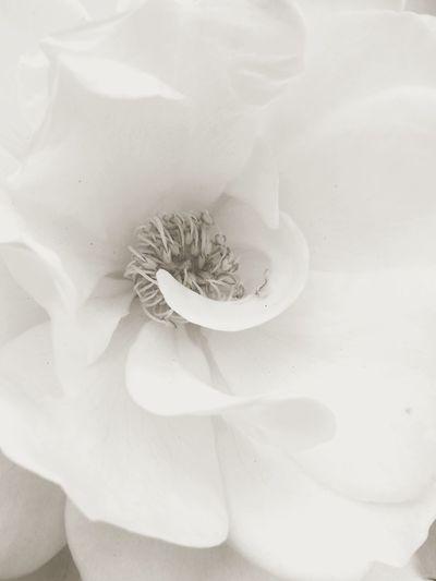 Full Frame White Detail Flower Flower Head Black And White Close-up Single Flower In Bloom Petal Blooming