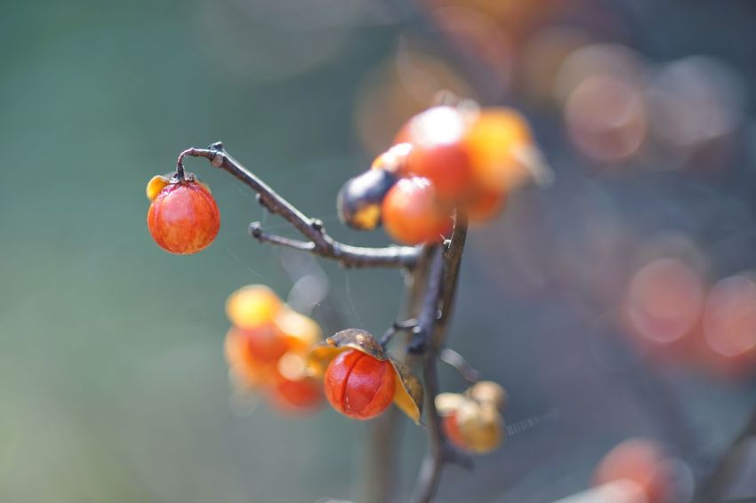 Trypterygium Regelii クロヅル Berry Red Berry Plants Beauty In Nature Autumn Colors Aflame Koishikawa Botanical Gardens Tokyo Autumn Walk About On The Way SONY A7ii Micronikkor Micronikkor105mmf2.8 105mm Masako201711