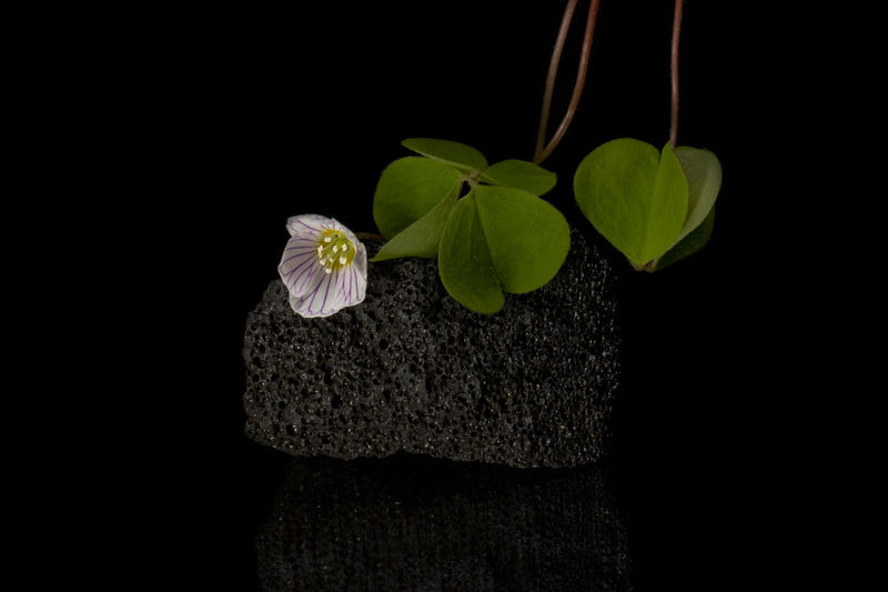 Black Background Blooming Blooming Flower Close-up Clover Clover Flower Clover Leaf Cloverleaf Clovers  Flower Flower Head Leaf Plant Stone Volcanic Stone Wihte Flower Wood Sorrel