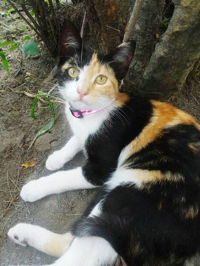 Mimi, Gatita calico 3 Calico Calico Cats Are Special Gato Tricolor Calico Cat Pets Domestic Cat Portrait Feline High Angle View Cat Ginger Cat At Home Stray Animal Yellow Eyes Pet Bed Domestic Animals Home Animal Tongue