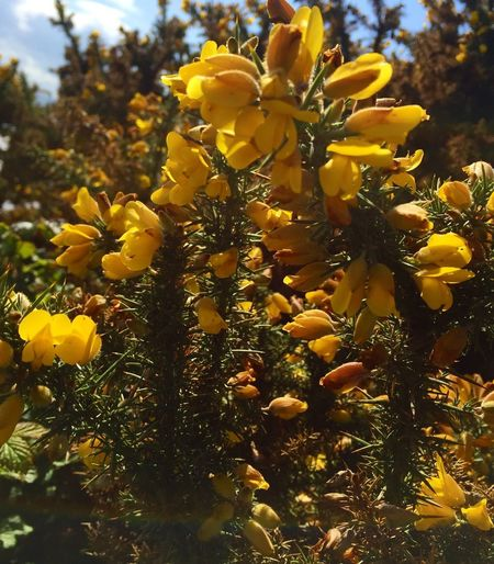 petals and prickles Spines Green Yellow Ulex Europaeus Common Gorse Plant Flowering Plant Growth Yellow Flower Beauty In Nature Close-up Nature Flower Head No People Day Petal Sunlight Focus On Foreground