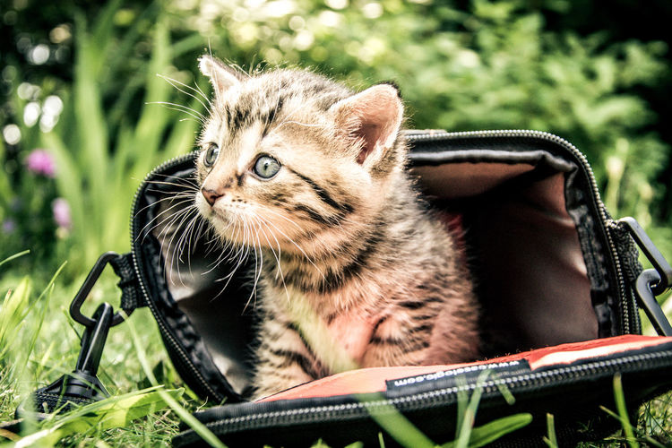 Animal Camera Bag Day Gray Kitten. Kitten Mammal Nature Outdoors Young Animal