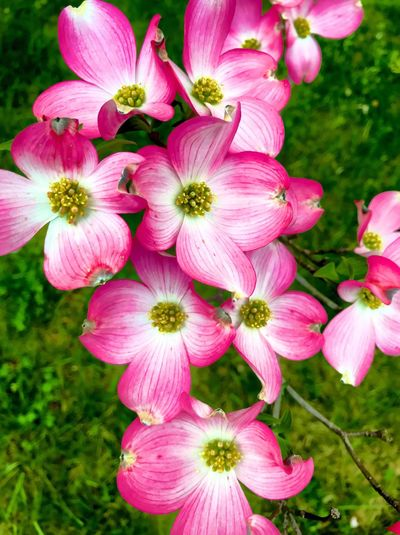 Flowering Plant Flower Plant Fragility Pink Color Freshness Petal Close-up Beauty In Nature No People Outdoors Stamen