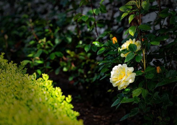 Rose Garden My