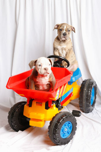 Portrait of a dog sitting on toy car