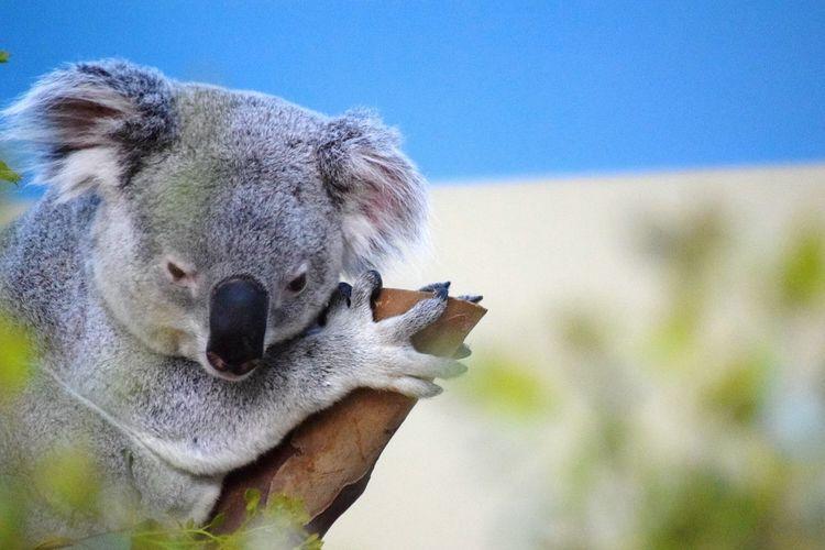 Koala Koala Bear Aussie Aussie Icon Sleepy Zoo Zoo Budapest Close-up EyeEm Gallery EyeEm Nature Lover