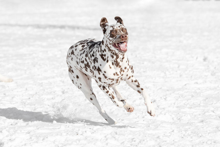 A young beautiful Dalmatian dog running in winter garden Dalmatian Dog Animal Animal Themes Mammal One Animal Land Vertebrate Pets Domestic Animals Snow Nature Field Motion Domestic Dalmatian Dog Running White Color Dog Day Canine Spotted Mouth Open