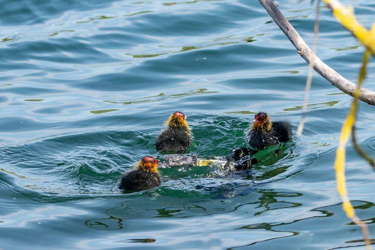 Adult moorhen dived below the water surface as ducklings look on