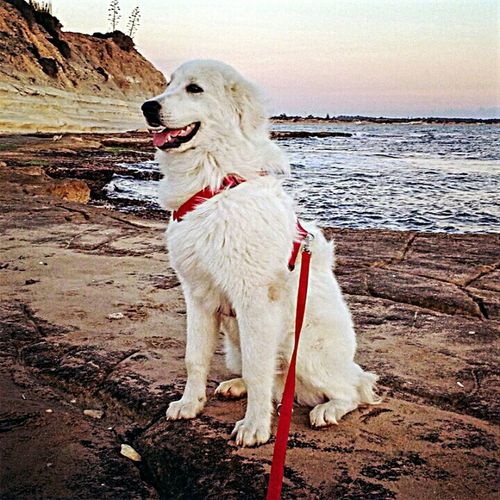 Dog Pastore Maremmano Barbabianca Edward Dog In The Sea I Love My Dog