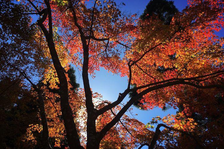 環境芸術の森 Autumn Nature Tree Leaf Beauty In Nature Orange Color No People Maple Tree IPhoneography Forest