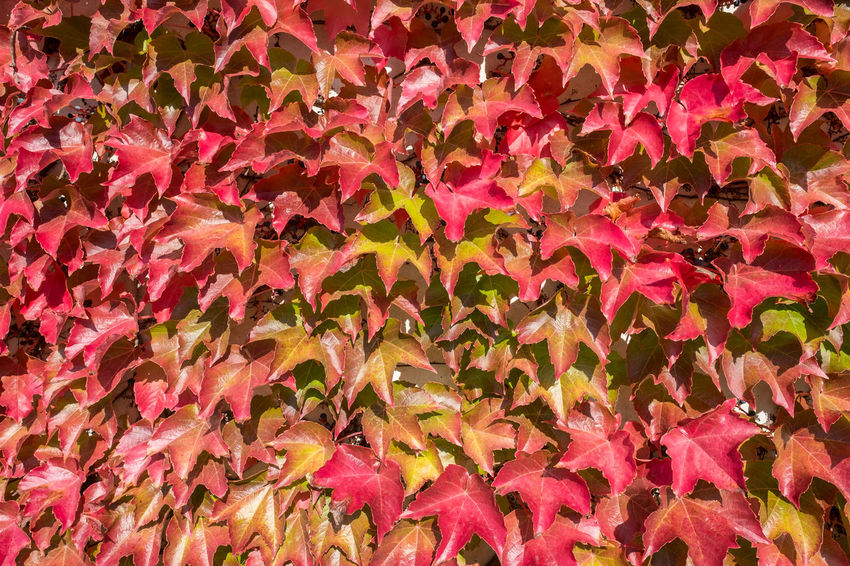 Grape ivy in red autumn colours Parthenocissus Abundance Autumn Backgrounds Beauty In Nature Change Close-up Day Flower Head Fragility Freshness Full Frame Grape Ivy Growth Leaf Nature No People Outdoors Pink Color