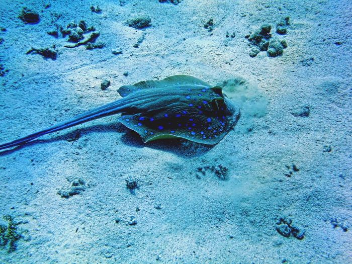 A blue spotted ray gliding across the sand. Egypt Sea Life One Animal No People Animals In The Wild Blue Underwater Animal Wildlife Sand Beauty In Nature Water Sea UnderSea Day Outdoors Ray Fish Gliding Along Deep Tranquility Graceful Not Dangerous Peace And Quiet Thought Provoking  Scuba Diving The Great Outdoors - 2017 EyeEm Awards