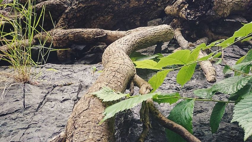 Live For The Story Nature Roots Of Tree Roots Root Roots Of Life Growing Relaxing Norway Freedom Beauty In Nature Outdoors Plant Growth