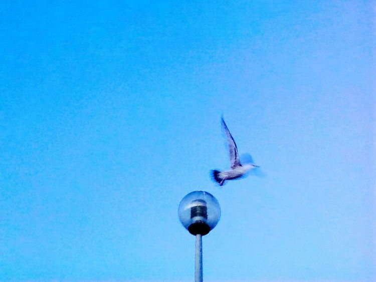 One Animal Flying Animal Themes Blue Bird Day Outdoors No People Seagull Clear Sky Sea Life Nature Sky Spread Wings The Street Photographer - 2017 EyeEm Awards EyeEmNewHere Figueira Da Foz, Portugal The Great Outdoors - 2017 EyeEm Awards Low Angle View Daytime Scenics Sunlight Beauty In Nature Nature Sunset