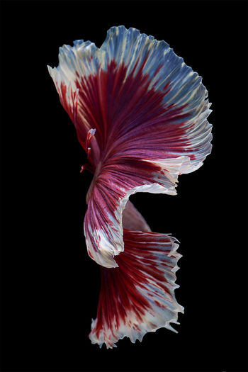 Close-up of hibiscus over black background