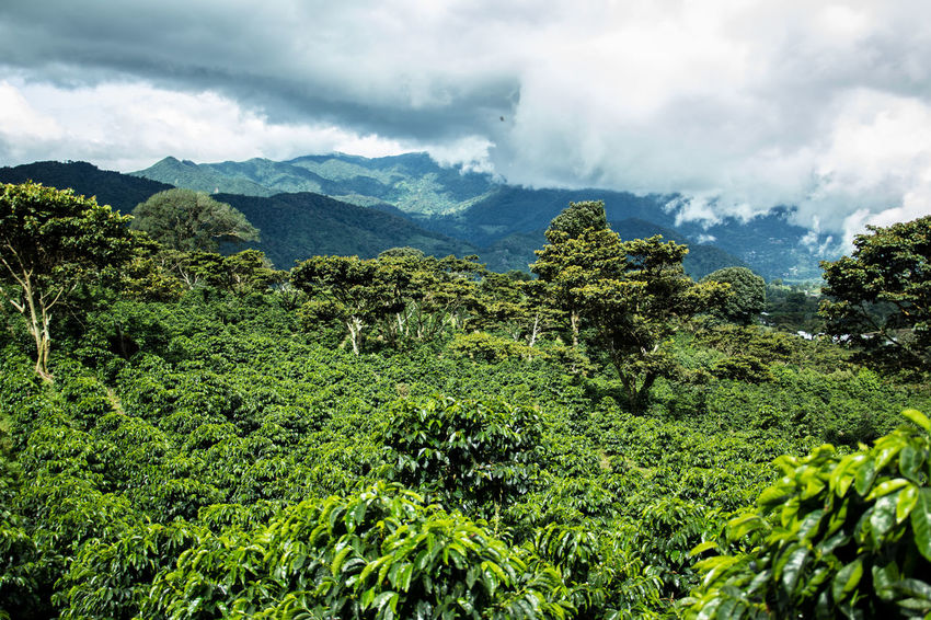 Coffee Farm Agriculture Beauty In Nature Coffee Coffee Farm Farm Forrest Greenery Growth Impressive Landscape Lush Foliage Mountain Mountain Life Nature No People Non-urban Scene Outdoors Panamá Plant Scenics Tree