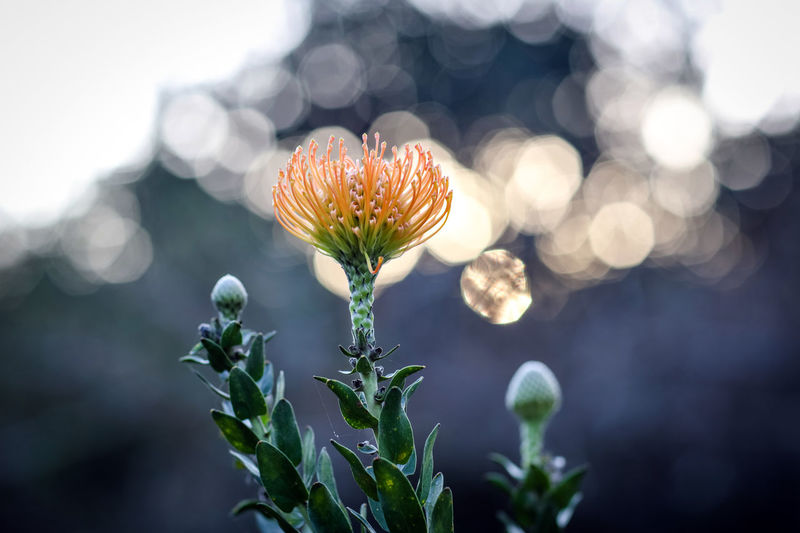 Close-up of flowering plant against blurred background