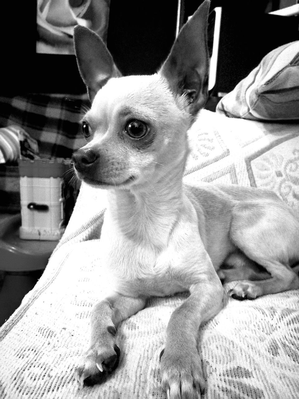 pets, domestic animals, dog, animal themes, mammal, chihuahua, one animal, sitting, indoors, bed, close-up, no people, day