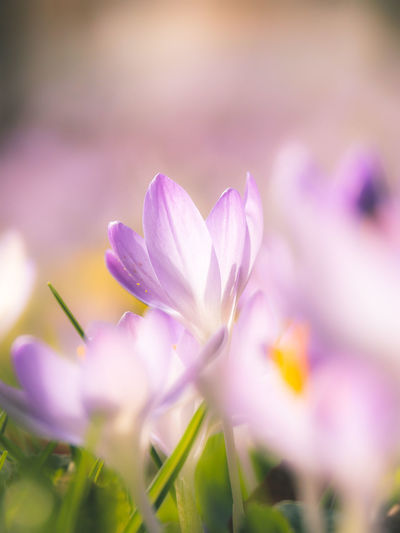 Flower Flowering Plant Freshness Plant Beauty In Nature Close-up Vulnerability  Fragility Selective Focus Purple Nature No People Growth Petal Springtime Inflorescence Flower Head Outdoors Blossom Beauty Softness Soft Focus Crocus