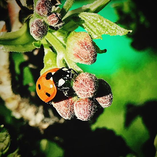 Ladybug Ladybird Close-up Insect Invertebrate Plant Leaf Nature Plant Part No People Sunlight Beauty In Nature