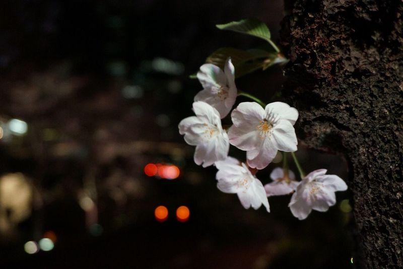 Sakura2017 Tokyo Night Tokyomidtown