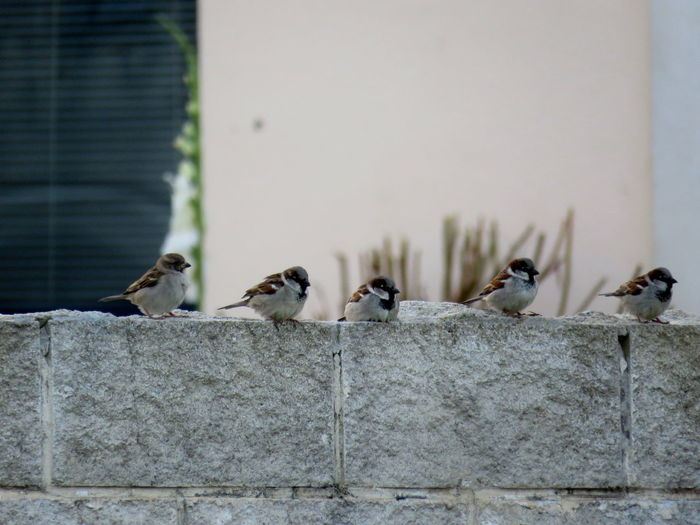 Animal Themes Animals In The Wild Architecture Bird Birds Building Exterior Built Structure Check This Out Day EyeEm Best Shots Focus On Foreground Free Birds Full Length In A Row Medium Group Of Animals Nature No People Outdoors Perching Row Of Birds Selective Focus Sparrows Urban Spring Fever Wall - Building Feature Wildlife
