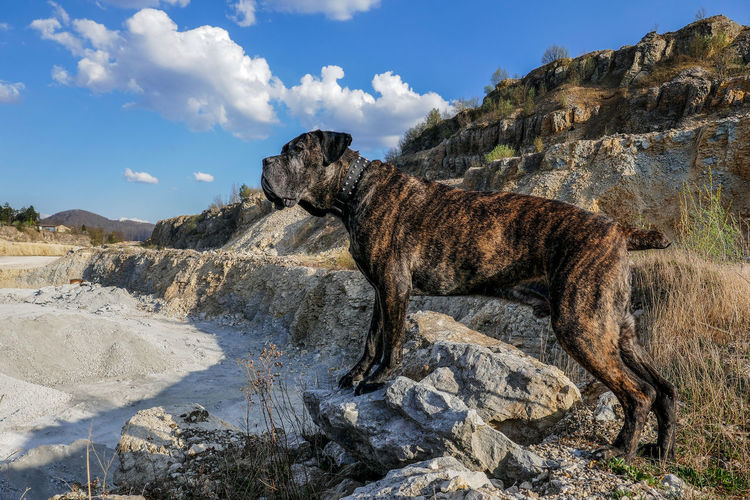 Big Dog Cane Corso Canyon Control Panel Controlling Dog In Controll Dog On The Top Dog Photography Fossil Guardian Guarding Hiking Hiking With My Dog Landscape Look Out Mastiff Nature Nature No People Outdoors Representing Rock - Object Top Dog Travel Travel Destinations