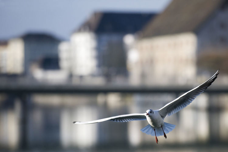Seagull flying over river by buildings in city