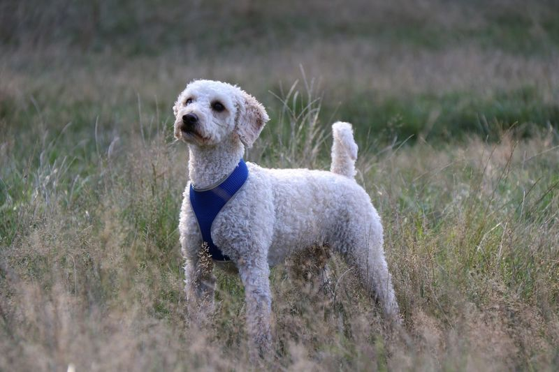 Standing proud Pet Photography  Dog In Nature Walking The Dog Dog In Grass Grass Labradoodle Animal Themes Mammal Animal Domestic Animals Domestic Pets Outdoors No People Day Selective Focus Nature Canine Plant Grass Vertebrate Field Dog