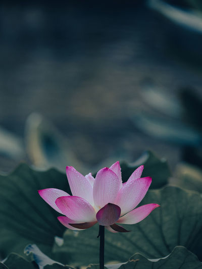Close-up of pink water lily in lake